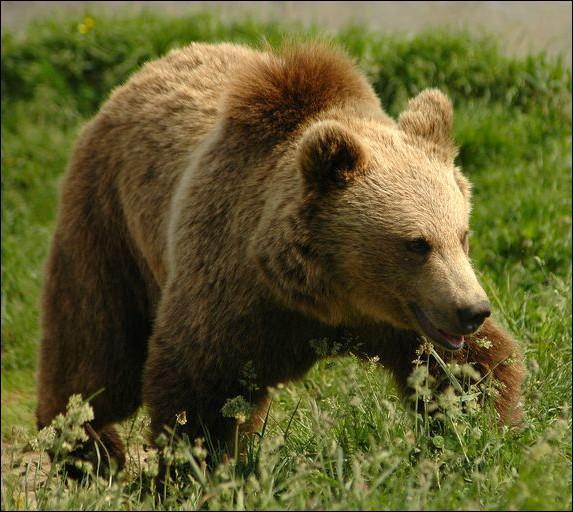 Quelle est la femelle de l'ours ?