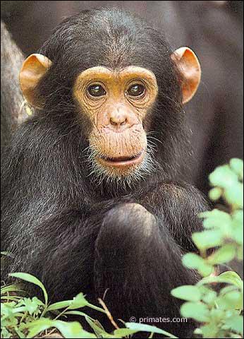 Quelle est la femelle du chimpanzé ?