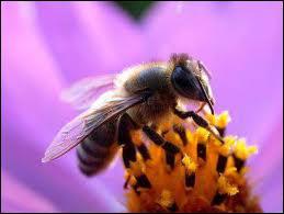 Quel est le mâle de l'abeille ?