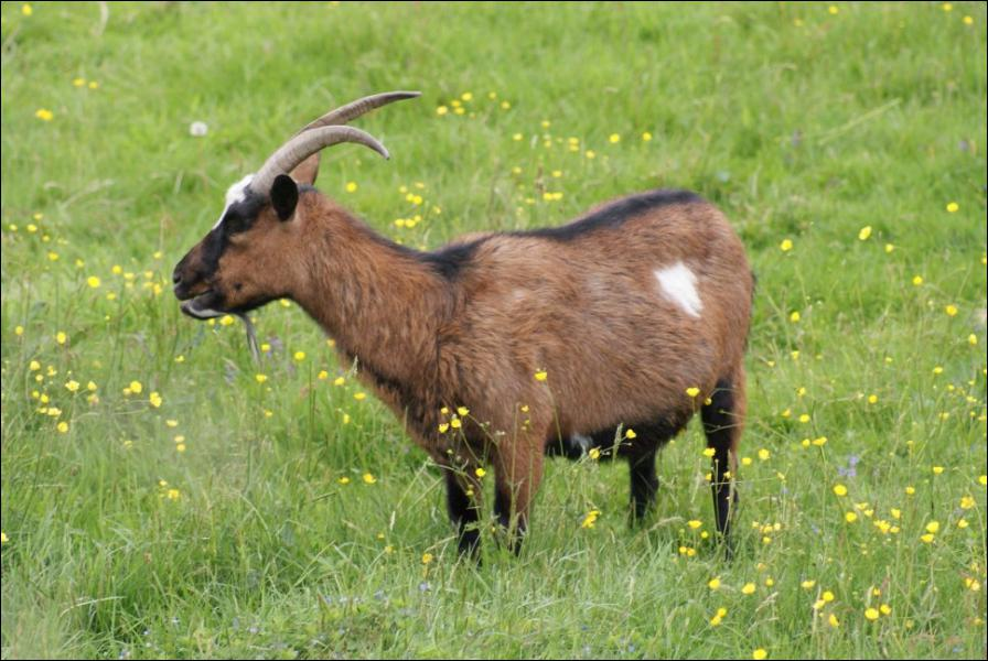 Quel est le mâle de la chèvre ?