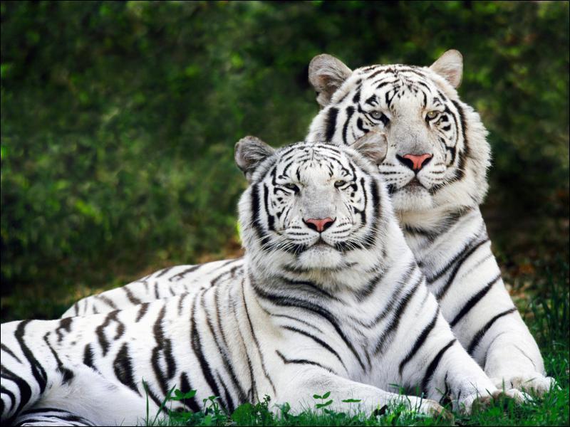 Quelle est la femelle du tigre ?