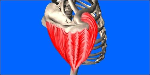 Où se trouve le muscle deltoïde ?