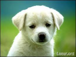 Quel est le petit du chien ?