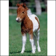 Quel est le petit du cheval ?