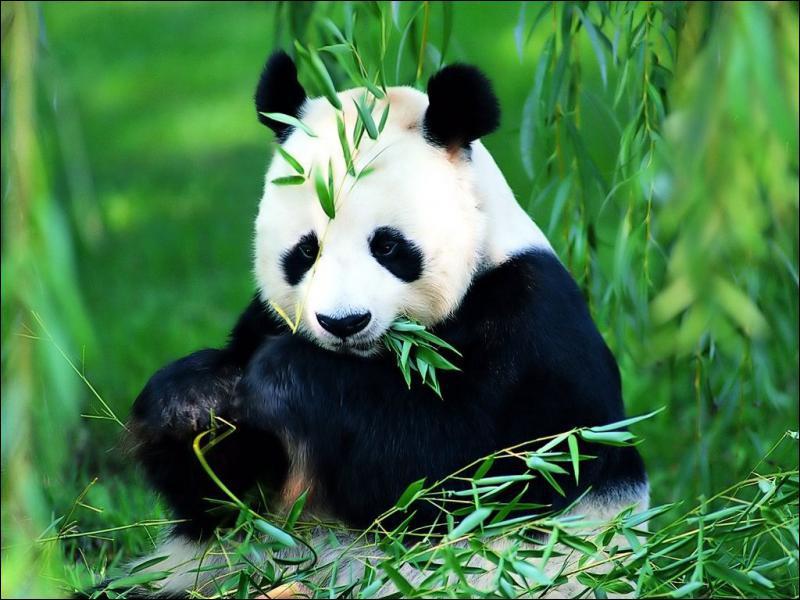 Quelle est la plante que mange le panda ?