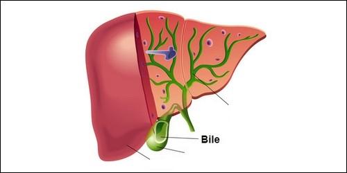 Quel est l'organe qui secrète la bile ?