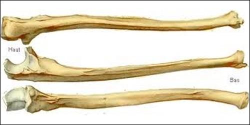 Quel os est inséparable du radius ?