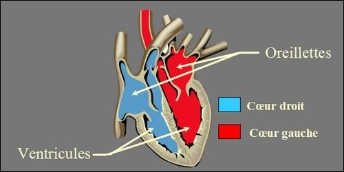 Combien y a-t-il de cavités dans le coeur ?