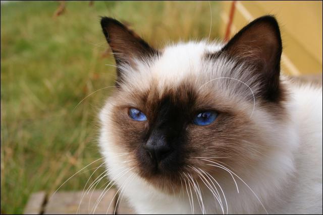 Ce chat est un :