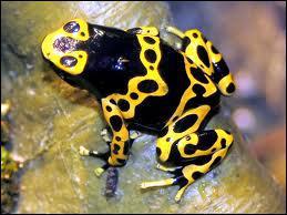Quel est cet amphibien ?