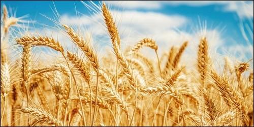 En quelle saison faut-il récolter le blé ?