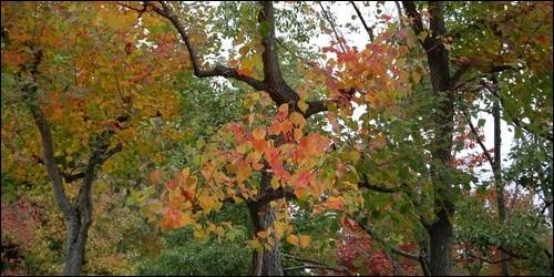 A quelle famille appartient l'arbre à suif ?