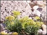 Quelle est cette plante que l'on fait confite au vinaigre ?