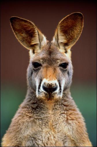 A quelle distance les grands kangourous peuvent-ils sauter ?