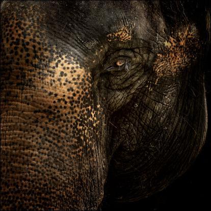 Combien pèse la trompe d'un éléphant ?