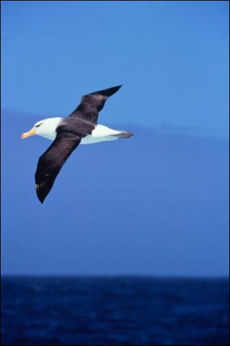 Quelle est l'envergure que peut atteindre un Albatros hurleur ?
