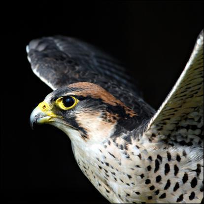 Quelle est la vitesse maximale atteinte par un faucon pèlerin ?