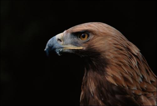 A quelle distance un aigle peut-il apercevoir sa proie ?