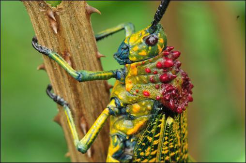 Combien de locustes (espèce de criquet) peut contenir un essaim ?