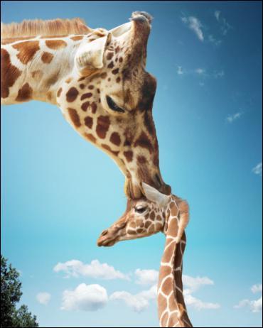 Combien de temps dort une girafe par jour ?