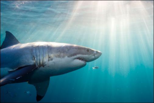 Lequel de ces requins n'existe pas ?