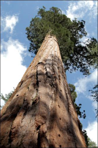 Quelle est la taille du plus grand arbre du monde ?
