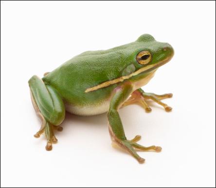 De quelle taille était la plus grosse grenouille du monde ?
