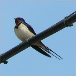 Le nom de cet oiseau, vous donnera le titre d'une chanson de Gilbert Bécaud.
