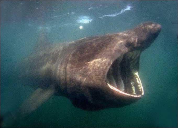 Ce requin est un ... .