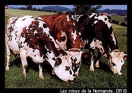 Stone et Charden ont chanté : ' Les vaches rousses, blanches et noires, sur lesquelles tombent la pluie et les cerisiers blancs, Made in...