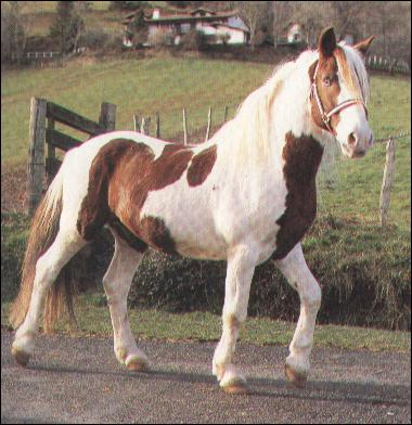 A quelle race appartient ce poney ?
