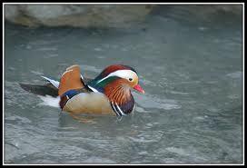 Comment appelle-t-on ce canard très coloré ?