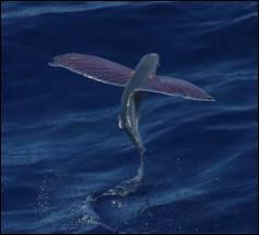 Quel est l'autre nom du poisson volant ?