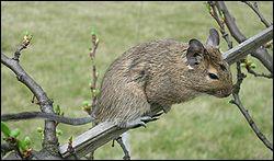 Quel est ce petit mammifère rongeur, appelé également 'dègue du Chili' ?