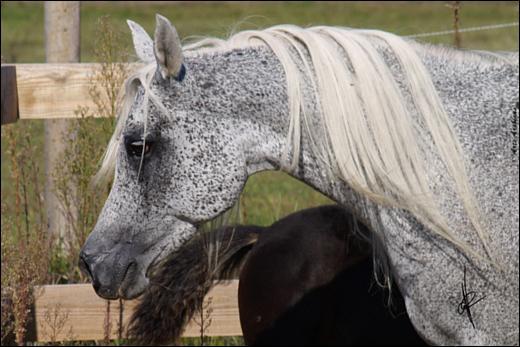 Comment appelle-t-on les petites taches claires sur fond blanc que l'on peut observer chez certains chevaux ?