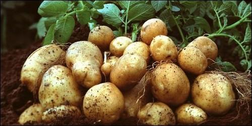 Quand la pomme de terre est-elle arrivée en Europe ?