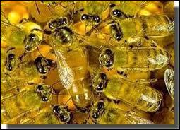 Avec quoi la reine des abeilles est-elle nourrie ?