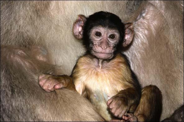 Quel est le nom de cette espèce de singe ?