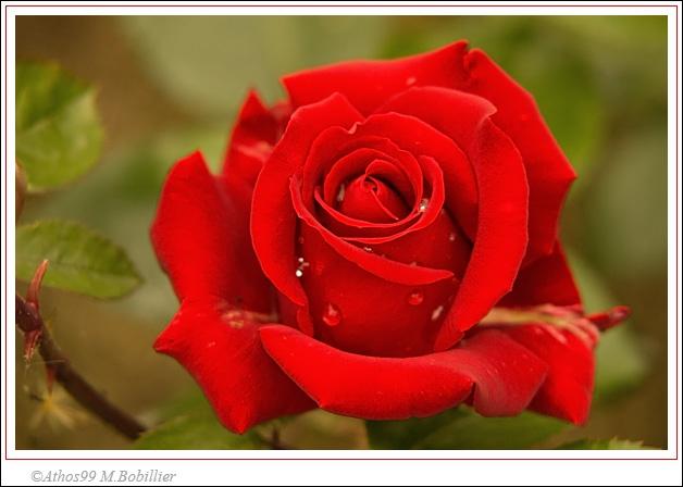 Oh, mais voici la fleur qu'on dit être délicate comme un bouton de...