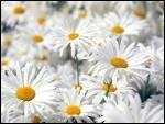 Quelle est cette fleur sympathique, même si elle est un peu banale et qui ressemble fort à la pâquerette ?