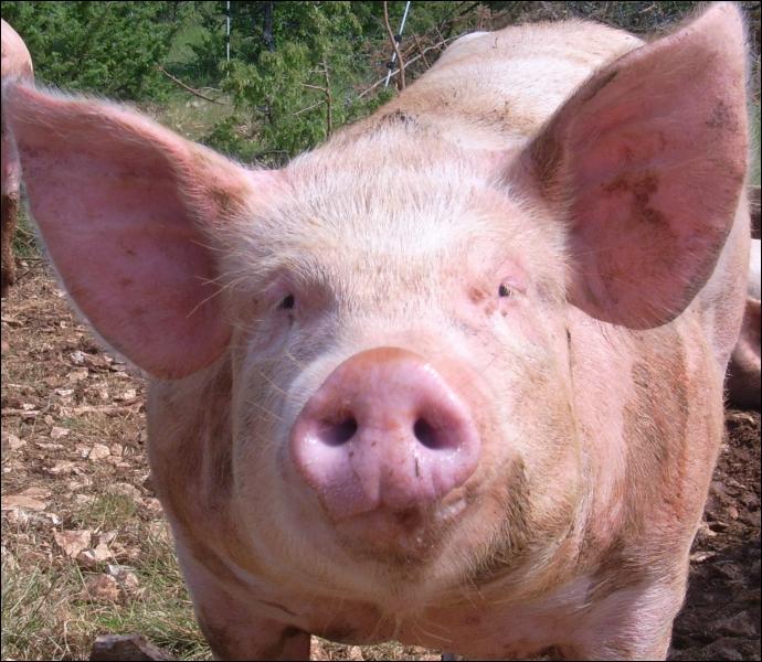 Celui-ci est reconnaissable à sa queue en tire-bouchon et il est principalement de couleur rose. On peut l'élever à trouver des truffes ( champignons qui poussent sous la terre). Vous avez reconnu :