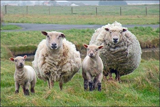 Cet animal est élevé en vue de la production du lait, de la laine et de la viande. Comme la vache, c'est un ruminant. Il s'agit :