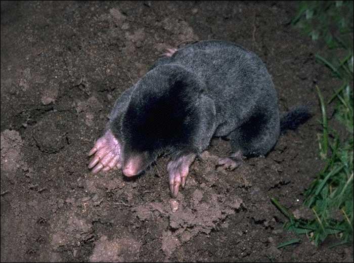 Cet animal creuse des galeries. Il mange tous les insectes qui tombent lorsqu'il creuse. Il n'y voit rien, c'est donc :