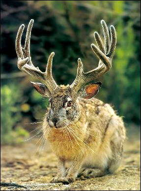 Qu'est-ce qu'un jackalope ?