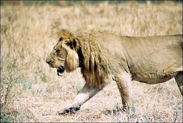 Combien de lion y-a-t-il environ dans une troupe?