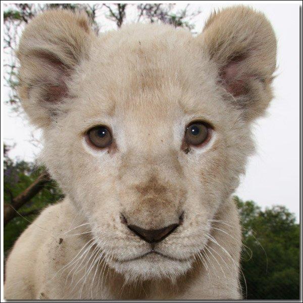 Dans les parcs zoologiques, combien reste-il de lion blancs?