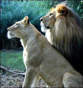 Quel est la vitesse de pointe des lions?