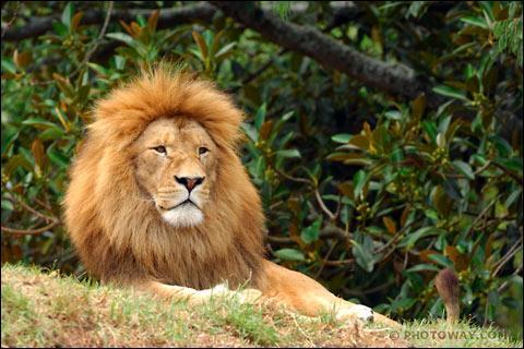 Combien de pourcent des tentatives de chasse sont réussites par les lions?