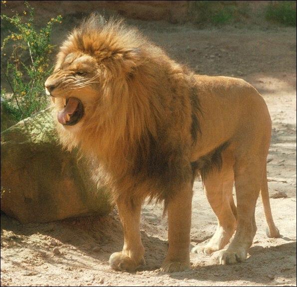 Le lion est le ...