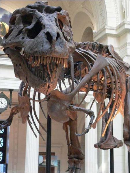 Quand a été découvert le premier squelette du Tyrannosaurus ?